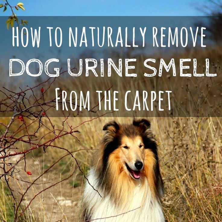 Best Product To Get Rid Of Dog Urine Smell On Carpet Www