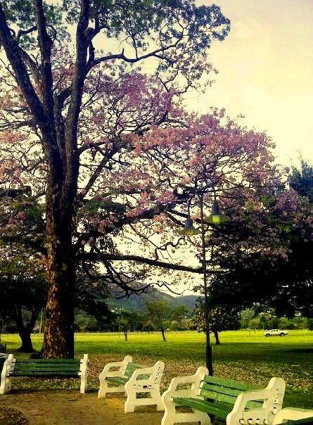 Pink Poui Tree - Queen Park Savannah, Trinidad   travel ...