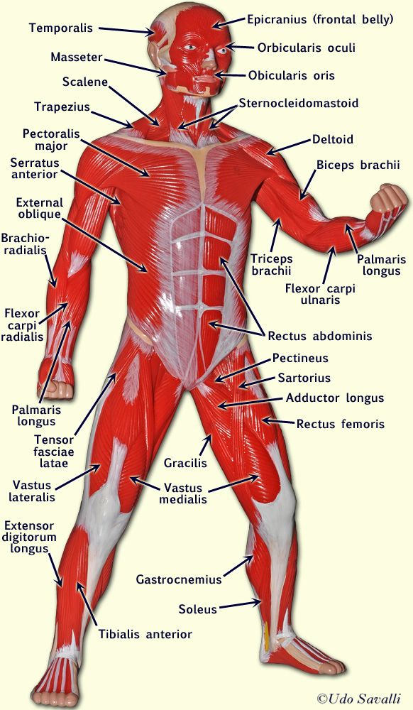 Anatomy Muscle Model Labeled Man
