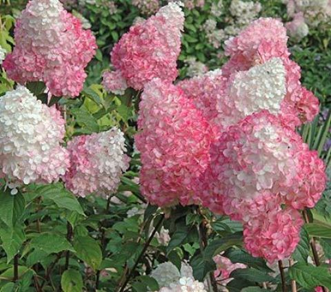 Hydrangea paniculata Vanilla Strawberry™: