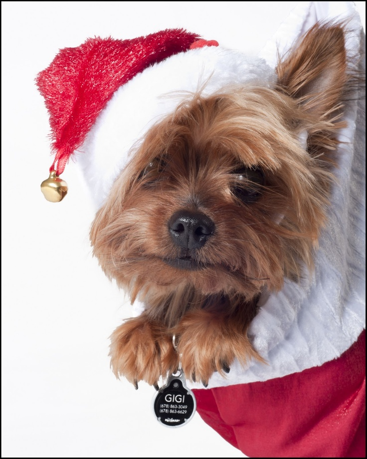 556 Best Images About CHRISTMAS DOGS Amp PUPPIES On