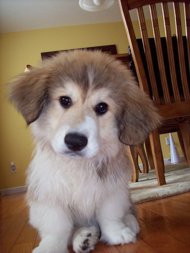 Meet Murphy A Corgi Great Pyrenees Mix Animals