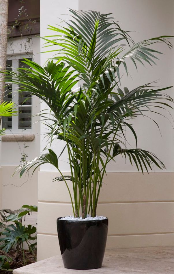 La Kentia è tra le piante d'appartamento più diffuse; si tratta di una specie di palma che si adatta molto bene a qualsiasi ambiente, anche ad esposizione in lieve penombra