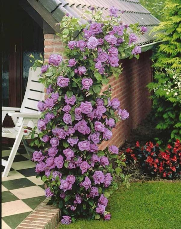 le rose sono adatte ad essere inserite in qualsiasi spazio verde, dai giardini dove possono decorare aiuole o crescere su pergolati o lungo le recinzioni, a terrazzi e balconi