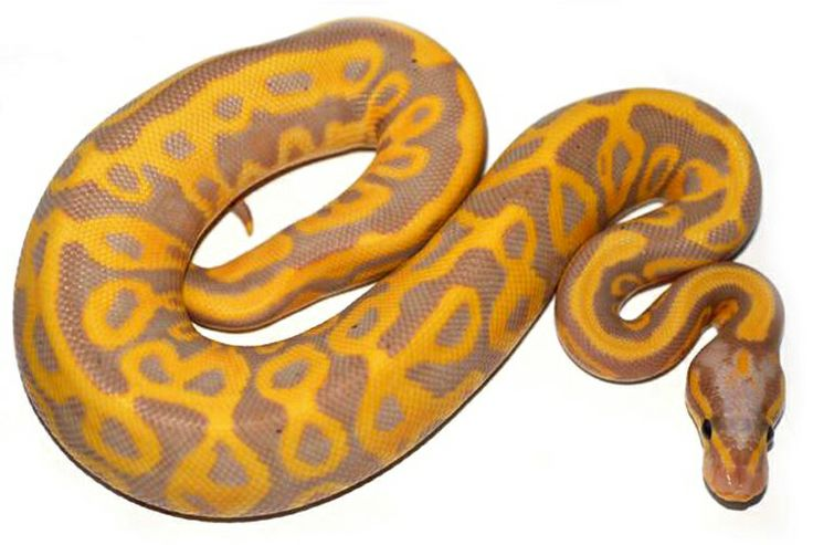 Leopard Coral Glow Ball Python Pretty Snakes Pinterest