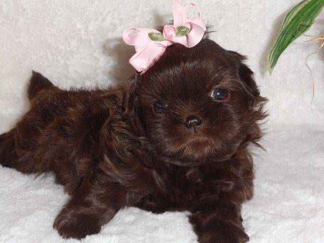 This Is Our AKC Liver Chocolate Shih Tzu Named Coco When