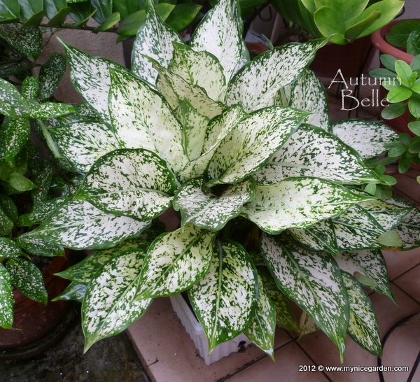 1000 Images About Aglaonema On Pinterest Valentines