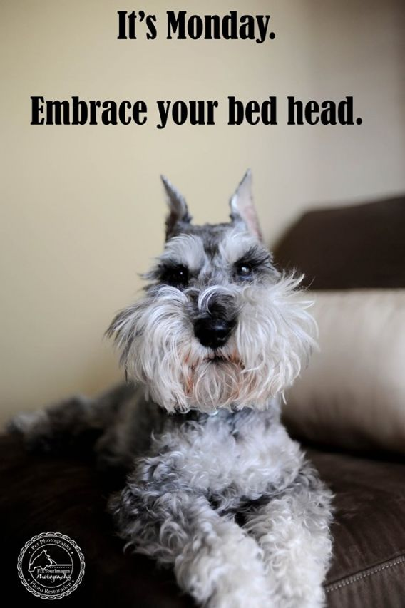 138 Best Images About Schnauzers And Friends On Pinterest