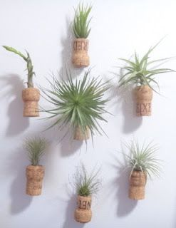 "Air plants displayed in upcycled champagne cork ""vases.""  See how I did"
