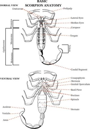 anatomy diagram | Spiders, Scorpions & Other Insects