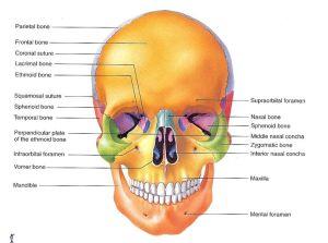 Skull labeled | A&P | Pinterest | Skulls and Human skull