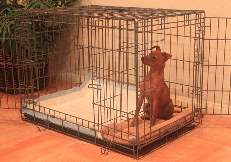 Miniature pinscher puppies how to potty train a miniature