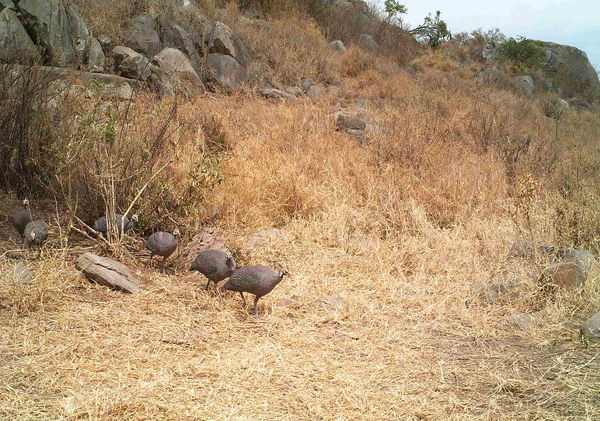 1000 Images About Guinea Fowl On Pinterest Raising