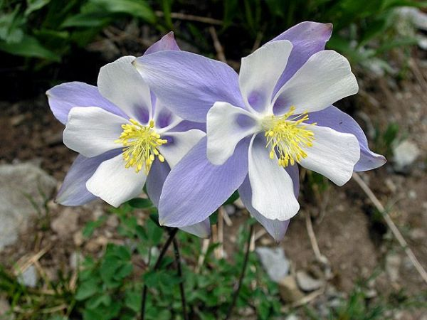 Columbine | Useful Information: Gardens and Landscaping ...
