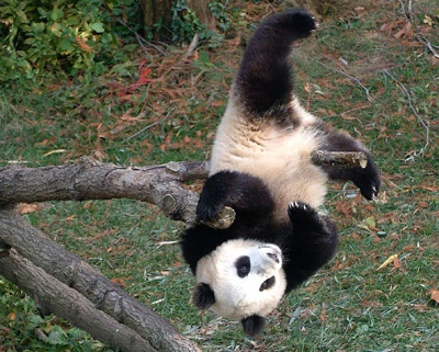 56 Best Images About Why So Blue Panda Bear On Pinterest