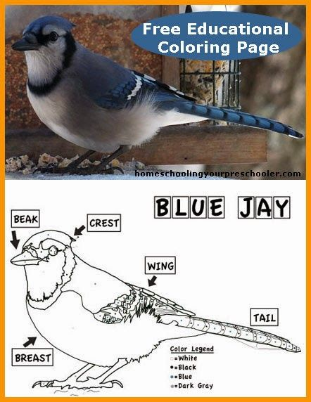 an educational blue jay coloring page for kids. free