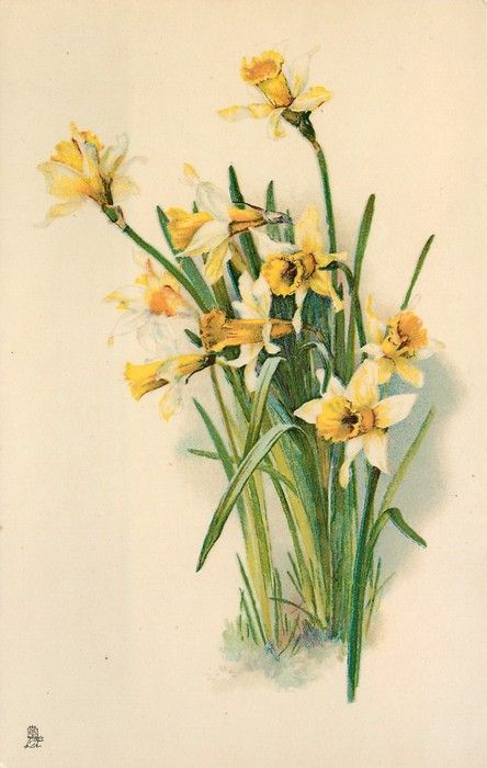703 Best Images About Vintage Daffodil On Pinterest
