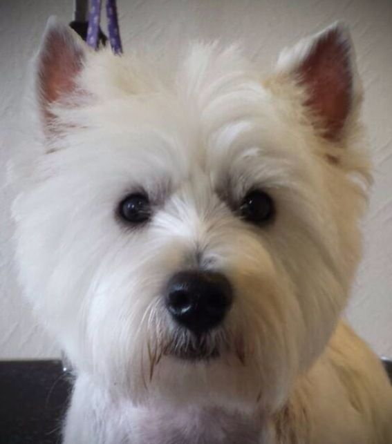 1000 Images About Westie On Pinterest White Terrier