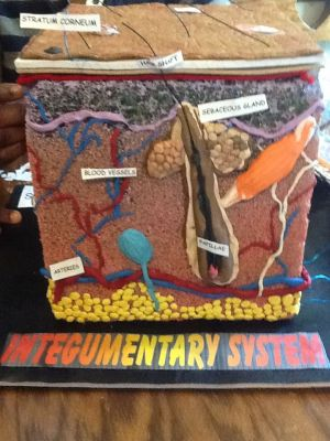 Here is a 3D homemade creation of an integumentary system