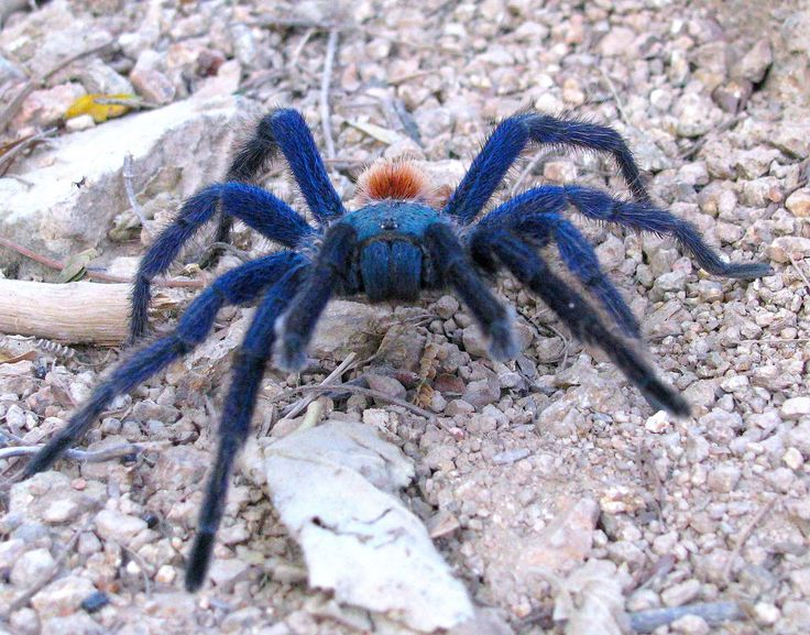 "17 Best Images About ""Blue Tarantula Spider"" On Pinterest"