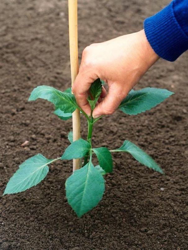 piantare la dahlia