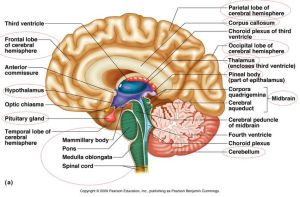 brainpartstoknow   Anatomy   Pinterest   Nice, The o