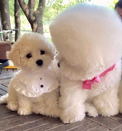 25 Best Ideas About Bichon Frise On Pinterest Bichons