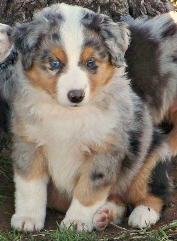 1000 ideas about Mini Australian Shepherds on Pinterest