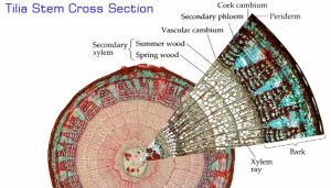 tilla stem cross section | inspiration things | Pinterest | Studentcentered resources, Labs