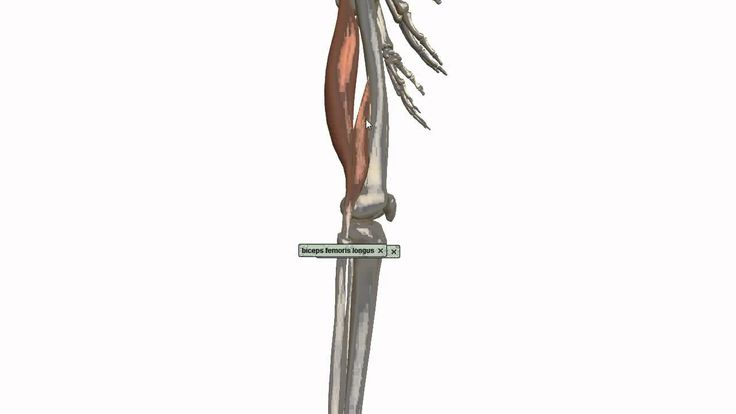 17 Best Ideas About Thigh Muscle Anatomy On Pinterest