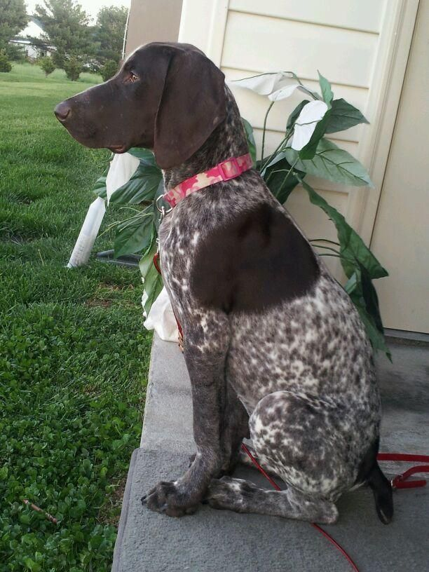 Adopted Ryker German Shorthaired Pointer Baby