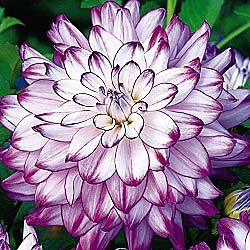 "Dinnerplate Dahlia – i love these huge blooms – this variety (the ""who dun it"")"