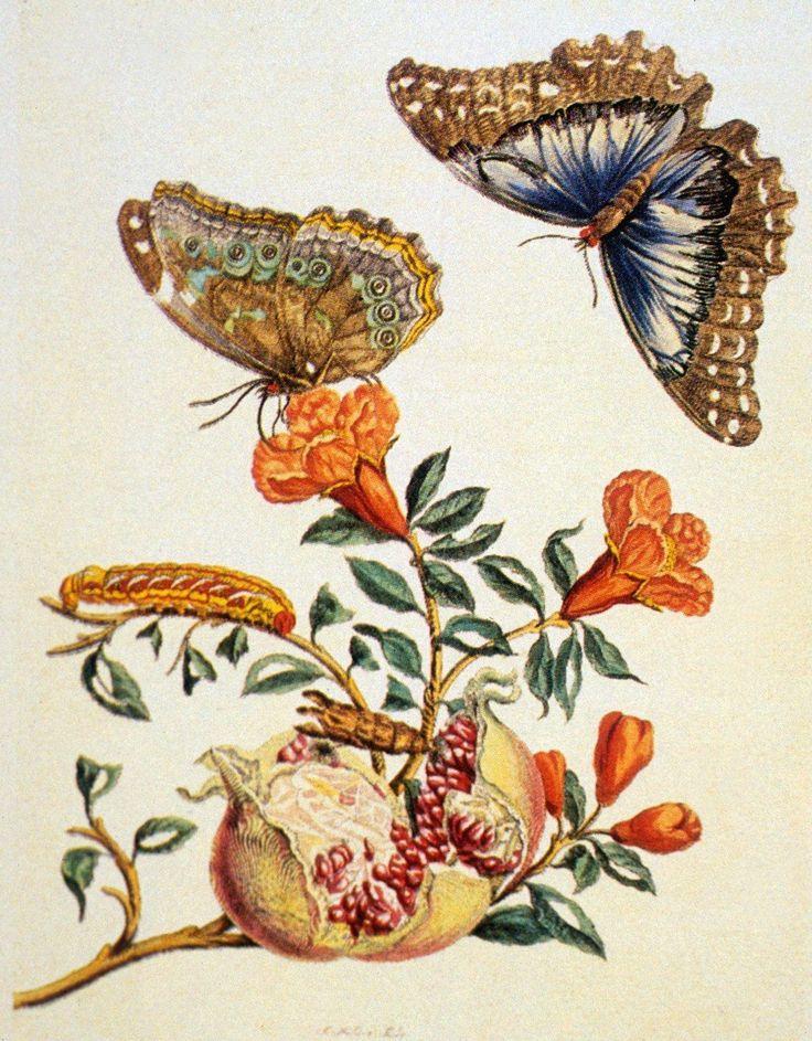 Anna Maria Sibylia Merian Plate 9 From The Metamorphosis