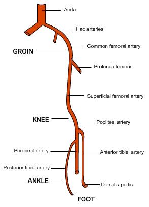 iliac artery branches  Google Search | ANATOMY | Pinterest | Search and Branches