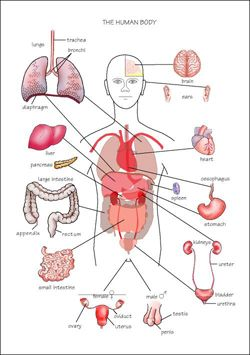 Free Diagrams Human Body | system in the human body | The Human Body | Pinterest | Human body