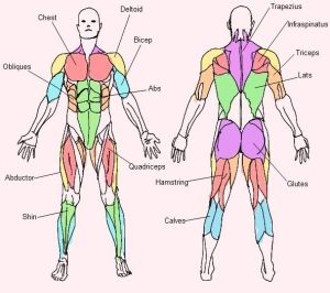 25 best ideas about Muscular system on Pinterest | Human
