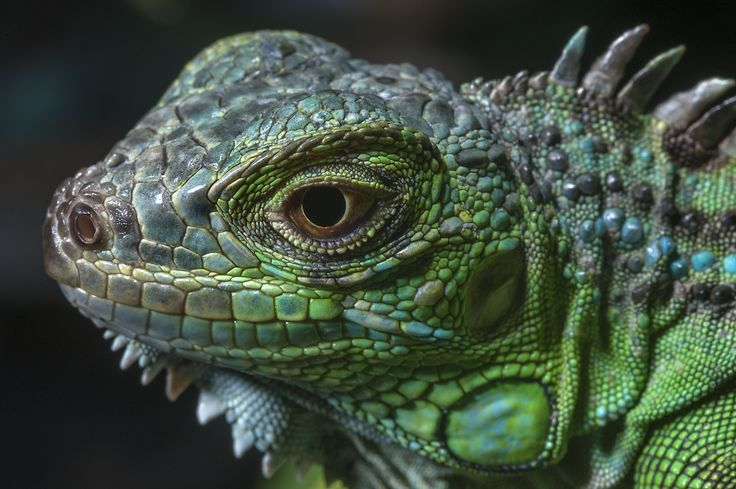 17 Best Ideas About Green Iguana On Pinterest Iguanas