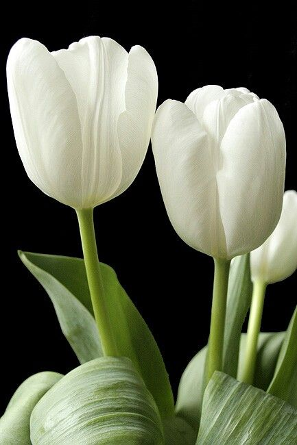 25 best ideas about White tulips on Pinterest White