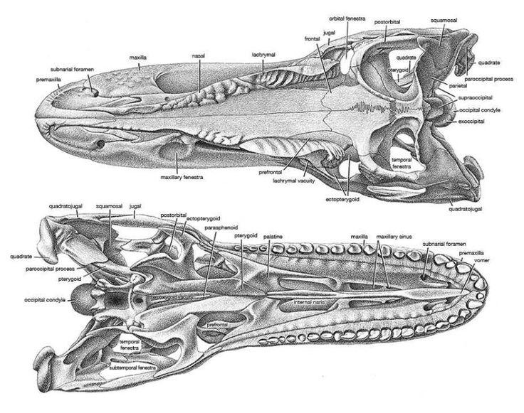 Allosaurus Skull Dorsal Amp Ventral View Dinosauricon A