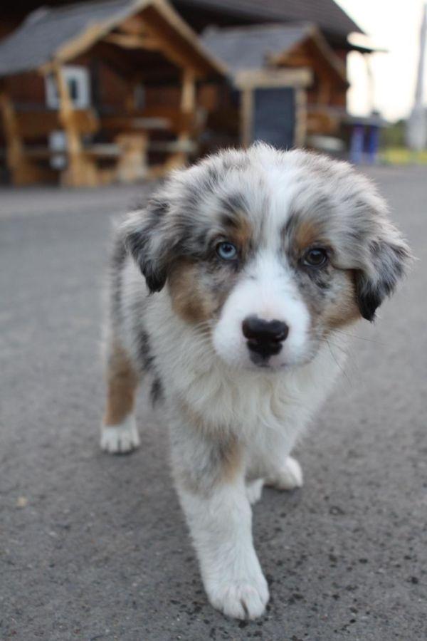 1000 ideas about Merle Australian Shepherd on Pinterest