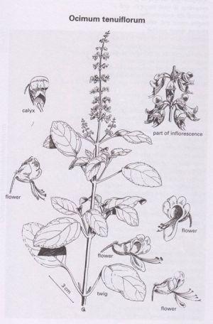 78 Best images about flora on Pinterest   Medicinal plants