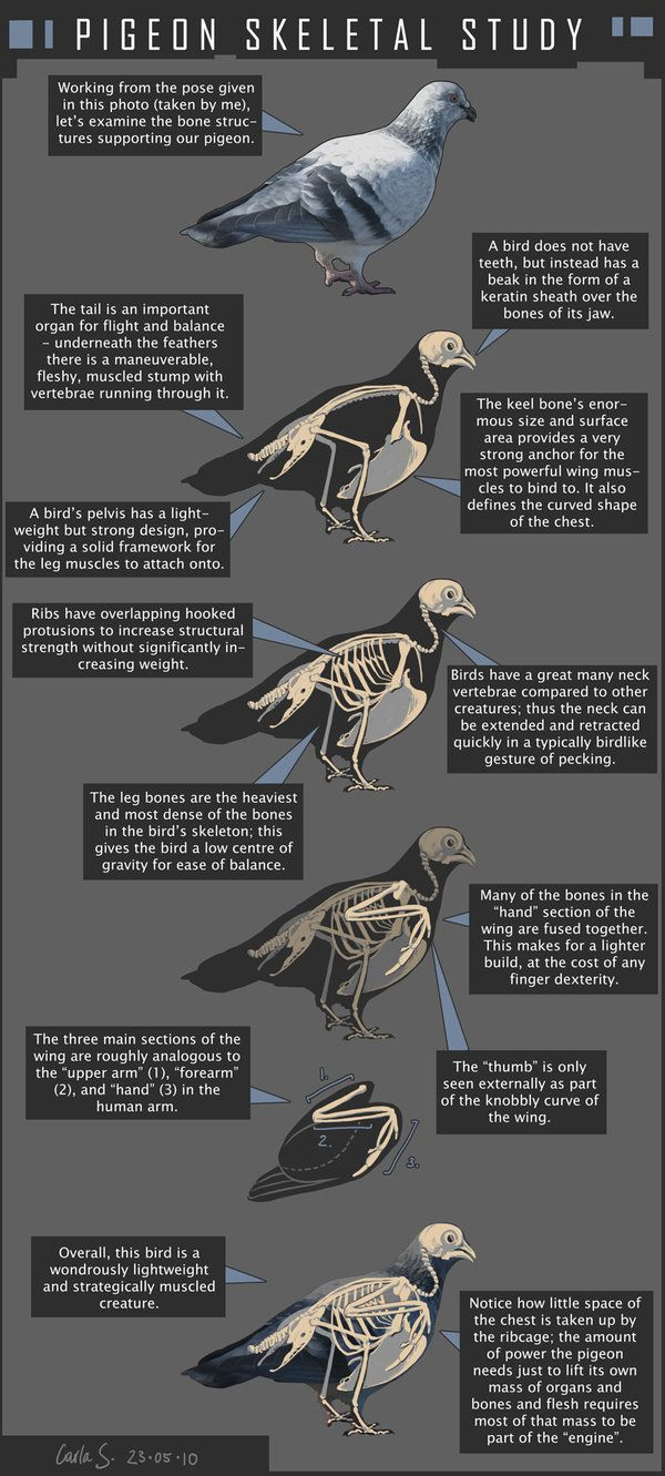 Pigeon Anatomical Diagram