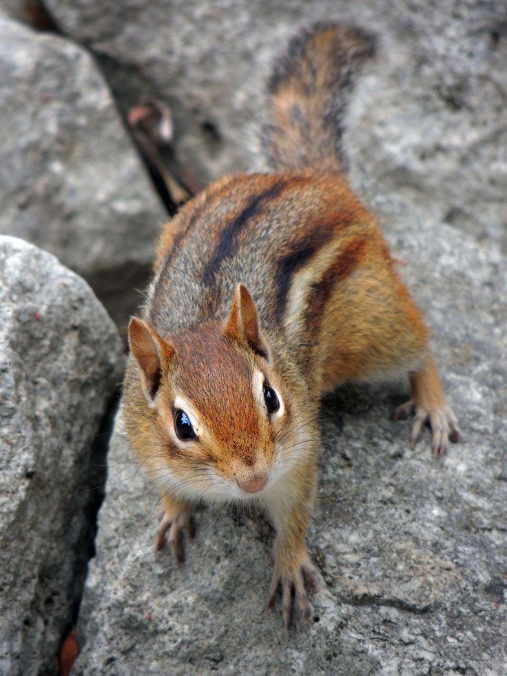 Colorado chipmunk animals pinterest animals photos