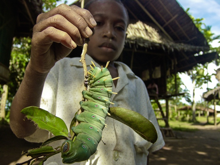 Natural Born Record Holders Biggest Moth In Australia
