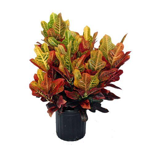 Croton Excellente Plants Pinterest Plants
