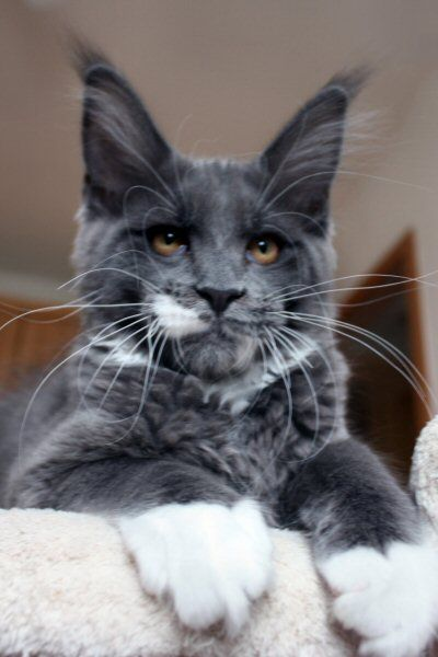 1000 Ideas About Maine Coon Cats On Pinterest Maine
