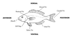 Basic fish diagram (fins labeled) | fish lesson
