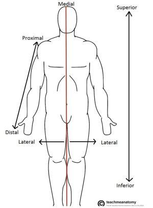 anatomicaltermsoflocation751x1024png (751×1024