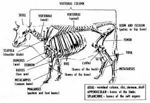 Bovine Anatomy  Skeletal | Livestock | Pinterest | Anatomy
