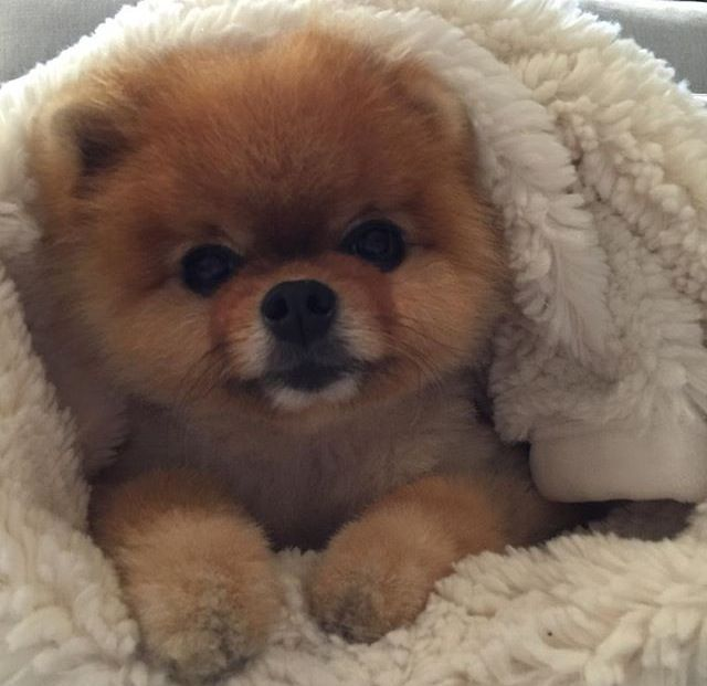 17 Best Images About Jiffpom On Pinterest Cutest Dogs
